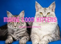 Maine coon kittens are the best cats out there. There have many dog traits and that is why most people think about this cat as the best cat breed ever