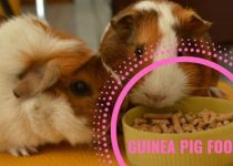 Best guinea pig food? Do you want to find out what you should feed your pet? What is a healthy and balanced diet for animals like this? If you like your pet and you would like to prolong their life, you have to read this. Also I will list all the foods they can't eat.