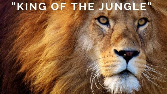 Do you think that lions is king of the jungle? THink again, they don'T even live in jungle. And even in savannah, which is their natural habitat. They are scared there at times by other animals.