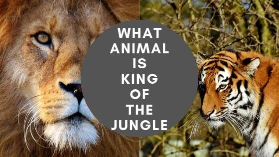 Have you even wondered who is the king of the jungle? Is it lion? Or tiger? Or is there any other animal which could be the king? Read this article to find out!
