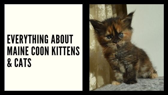 DO you want to learn and find out everything there to is to maine cook kittens? If yes please continue reading this article to get more info about these cats