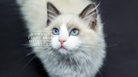 Maine coon is very wierd bried, they are more like dogs rather than cats, that is why so many people love them more!