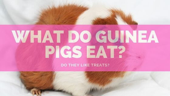 What do guinea pigs eat? Are you wondering if they like treats and if you can give them treats? Please make sure you will read this part about the treats, because you can easily poison your pet with bad foods, that you can eat but they don't.